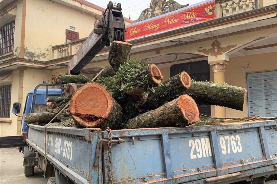 Sáng nay 27.1, người dân thôn Phụ Chính bắt đầu chặt hạ 2 cây sưa quý trong chùa thôn. Ảnh: Thành Trung