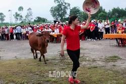 Người dân Nghệ An đua nhau dắt bò đi thi... hoa hậu