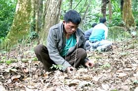 Quảng Nam: Hơn 450 hộ dân được thuê môi trường rừng để trồng sâm Ngọc Linh