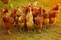 Thế giới động vật: Những sự thật khó tin về loài gà