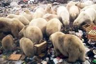 Gấu Bắc Cực đổ bộ tấn công người dân Nga