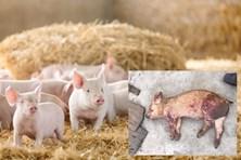 Nguy cơ bùng phát dịch tả lợn Châu Phi: Dấu hiệu nhận biết sớm