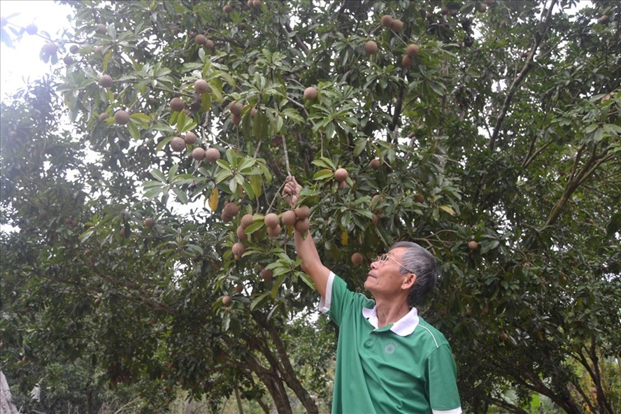 Ông Trần Doãn Dần là một trong những người tiên phong nhân rộng giống hồng xiêm Xuân Đỉnh
