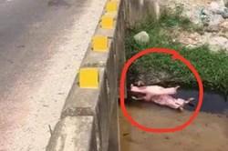 Xác heo chết vứt ở kênh nước giữa lúc dịch tả lợn Châu Phi