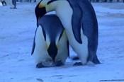 Thế giới động vật: Cảm động hình ảnh chim cánh cụt mẹ ủ ấm cho xác con