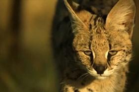 Thế giới động vật: Linh miêu phi thân bắt gọn con mồi