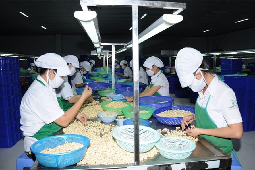 Nhiều năm qua, các DN Việt Nam phải nhập khẩu điều thô từ Châu Phi mới đủ nguyên liệu sản xuất. Ảnh: H.H