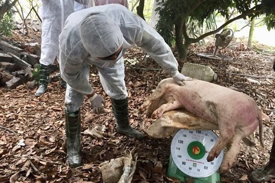 Cần xem xét lại mức hỗ trợ hợp lý đối với lợn phải tiêu hủy, để người dân tự giác báo dịch, để  hạn chế thấp nhất thiệt hại. Ảnh: PV
