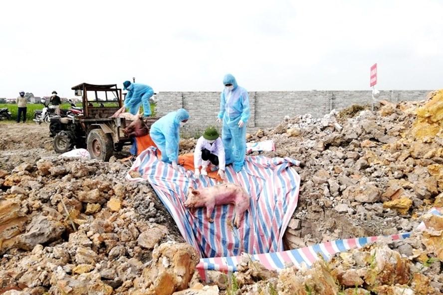 Nhiều địa phương phải cử người túc trực, vớt xác lợn trên sông để tiêu hủy theo quy định. Ảnh: Kh.Long