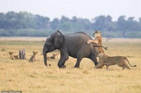 Thế giới động vật: Voi con thoát chết kì diệu trong vòng vây sư tử