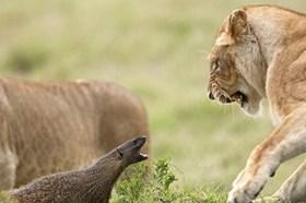Thế giới động vật: Cầy mangut vênh váo trêu ngươi cả đàn sư tử