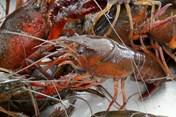 Tôm hùm càng đỏ Trung Quốc không được nhập khẩu vào Việt Nam