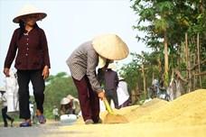 Dân Hà Nội thản nhiên phơi thóc trên Đại lộ Thăng Long