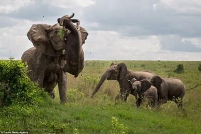 Thế giới động vật: Đang nghỉ ngơi, trâu bị voi húc văng lên trời