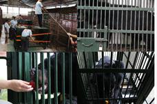 Cứu hộ 6 con gấu già yếu về môi trường bán tự nhiên nuôi