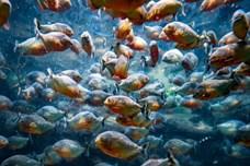 """Thế giới động vật: Màn rỉa thịt """"nhanh như chớp"""" của cá hổ Piranha"""