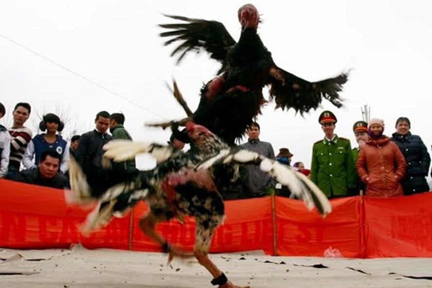 Một trận chọi gà trong lễ hội