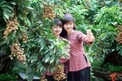 Nhãn Hưng Yên - mùa ngọt ven sông