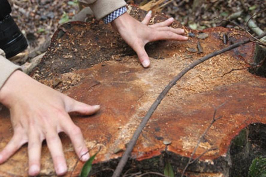 Gỗ bị đốn hạ từ nhóm 5 đến nhóm 7, có gốc cây đường kính lên đến 60 - 70cm. Ảnh: HƯNG THƠ