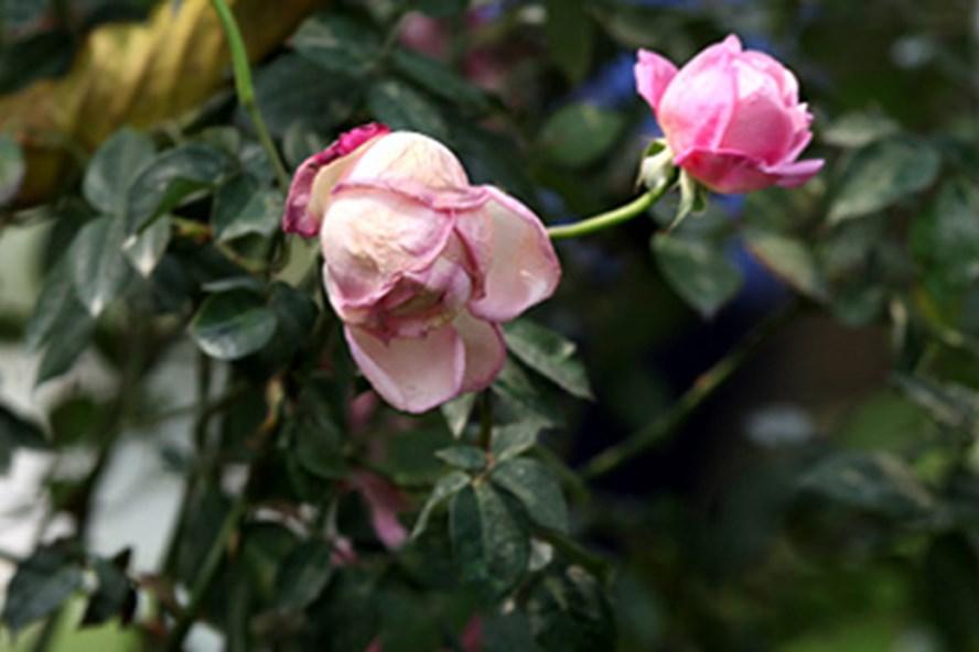 Lễ hội hoa hồng tại Hà Nội: Người dân thất vọng vì hoa giả, hoa héo