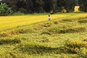 Vụ lúa đông xuân 2016 - 2017 ở ĐBSCL: Niềm vui chưa trọn
