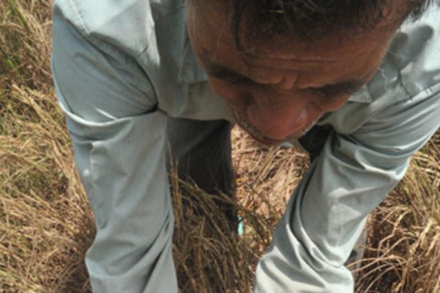 Lúa chết ở Kiên Giang trong đợt hạn mặn khốc liệt năm 2016. Ảnh: P.V