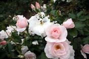Mê mẩn khu vườn hơn 1.800 cây hoa hồng nở rực rỡ ngát hương